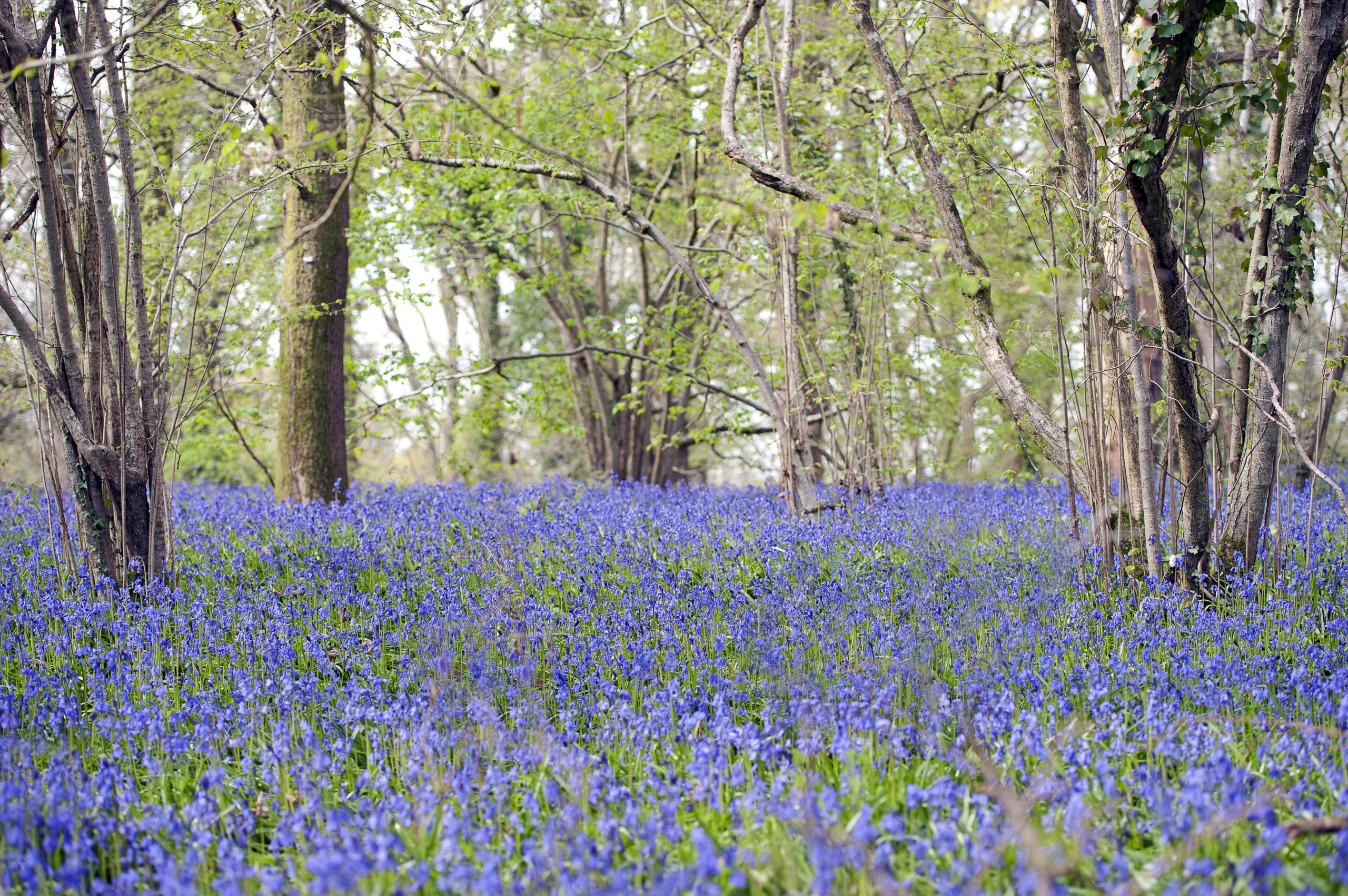 April abundance with a sea of flowering Bluebells in Pamhill, Wimborne, Dorset, England